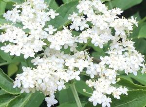 Edlerflower full bloom