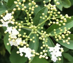 Edlerflower half bloom